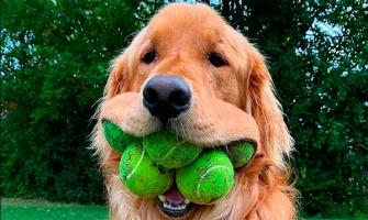 Пёс может держать в пасти сразу 6 мячей. Это тянет на мировой рекорд