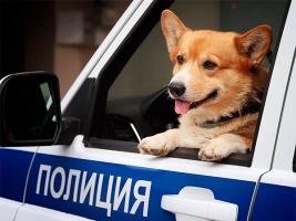 Милота дня: в России корги-полицейский ушёл на пенсию